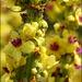 Verbascum nigrum - Photo (c) Steve Chilton,  זכויות יוצרים חלקיות (CC BY-NC-ND)
