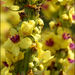 Dark Mullein - Photo (c) Steve Chilton, some rights reserved (CC BY-NC-ND)