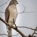 African Goshawk - Photo (c) Charles (Chuck) Peterson, some rights reserved (CC BY-NC-ND)