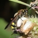 Scoliid Wasps - Photo (c) James Bailey, some rights reserved (CC BY-NC)