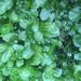 Symphyogyna podophylla - Photo (c) mossynewf, some rights reserved (CC BY-NC)