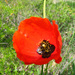 Roemeria refracta - Photo (c) Теймуров А.А., algunos derechos reservados (CC BY-NC)