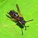 Spiny Mason Wasp - Photo (c) Kostas Zontanos, some rights reserved (CC BY-NC)