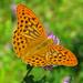 Argynnis paphia - Photo (c) frahome,  זכויות יוצרים חלקיות (CC BY-NC)