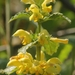 Yellow Archangel - Photo (c) AnneTanne, some rights reserved (CC BY-NC-SA)