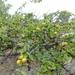 Canthium coromandelicum - Photo (c) Subbu Ramanathan, algunos derechos reservados (CC BY-NC)