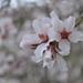 Prunus bucharica - Photo (c) Aleksandr Naumenko, some rights reserved (CC BY-NC)