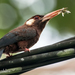 White-eared Jacamar - Photo (c) Phil Kahler, some rights reserved (CC BY-NC)