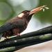Galbalcyrhynchus leucotis - Photo (c) Phil Kahler,  זכויות יוצרים חלקיות (CC BY-NC)
