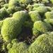 Grimmiaceae - Photo (c) Leoš Smutný, algunos derechos reservados (CC BY-NC)