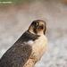 Falco peregrinus pelegrinoides - Photo (c) fotis-samaritakis, algunos derechos reservados (CC BY-NC)