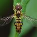 Toxomerus geminatus - Photo (c) Ryan Hodnett, μερικά δικαιώματα διατηρούνται (CC BY-SA)