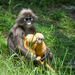 Dusky Leaf Monkey - Photo (c) Michael Jacobi, some rights reserved (CC BY-NC)