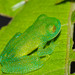 Bumpy Glassfrog - Photo (c) David Torres, some rights reserved (CC BY-NC)
