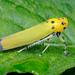Bothrogonia ferruginea - Photo (c) Shipher (士緯) Wu (吳), algunos derechos reservados (CC BY-NC-SA)