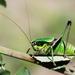 Eupholidoptera chabrieri - Photo (c) Gilles San Martin, μερικά δικαιώματα διατηρούνται (CC BY-SA)