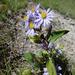 Symphyotrichum ciliolatum - Photo (c) trickygoose, μερικά δικαιώματα διατηρούνται (CC BY-NC)