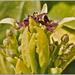 Laureles Asiáticos - Photo (c) Terry Langhorn, algunos derechos reservados (CC BY-NC-ND)