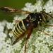 Spilomyia diophthalma - Photo (c) Adam Furlepa, μερικά δικαιώματα διατηρούνται (CC BY-SA)