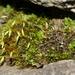 Pohlia elongata elongata - Photo (c) Nick Helme, algunos derechos reservados (CC BY-SA)
