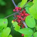 Prickly Ash - Photo (c) Dan Mullen, some rights reserved (CC BY-NC-ND)