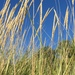 American Marram Grass - Photo (c) kha, some rights reserved (CC BY-NC)