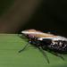 Plagiopsis - Photo Sem direitos reservados