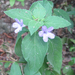 Drummond's Ruellia - Photo (c) Chuck Sexton, some rights reserved (CC BY-NC)