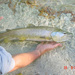 Marble Trout - Photo (c) M. Jus, some rights reserved (CC BY)