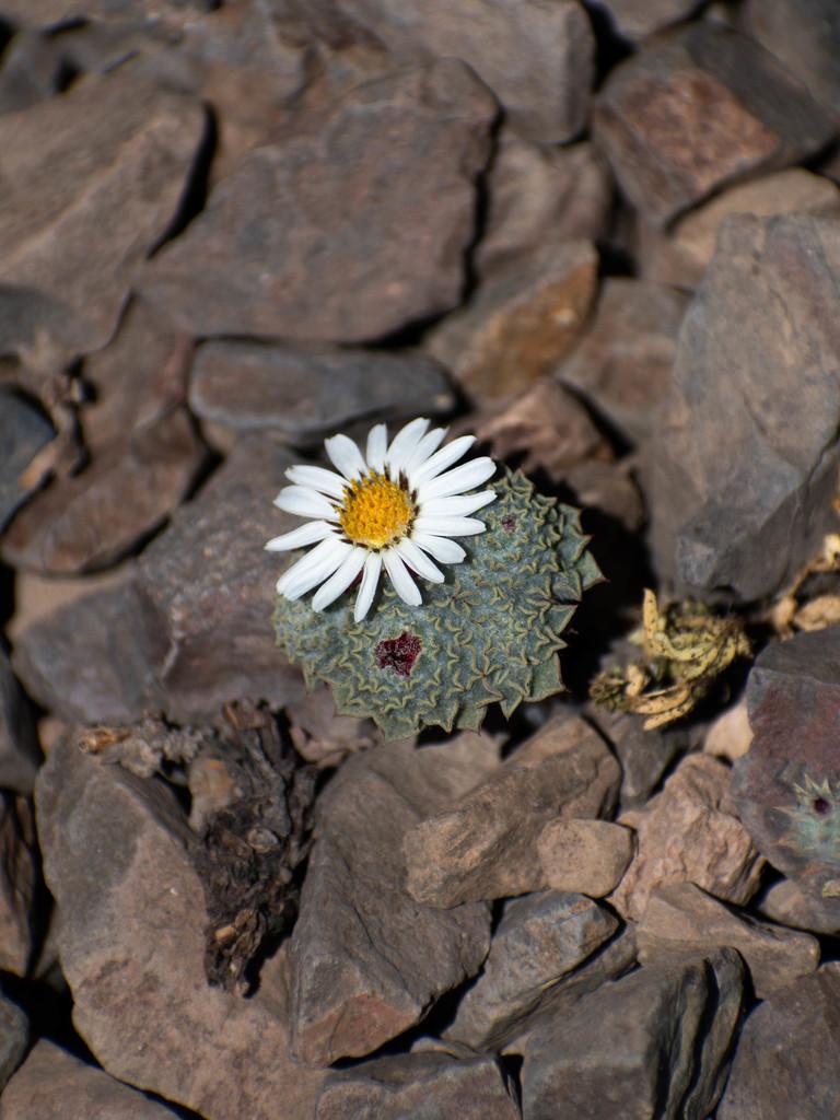 Oriastrum chilense - Photo (c) José Tomás Urrea, algunos derechos reservados (CC BY-NC)