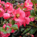 Chaenomeles speciosa - Photo (c) rachelgreenbelt, algunos derechos reservados (CC BY-NC-SA)