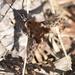 Triplasius pictus - Photo (c) Kostas Zontanos,  זכויות יוצרים חלקיות (CC BY-NC)