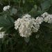Sorbus hybrida - Photo (c) Kari Pihlaviita, algunos derechos reservados (CC BY-NC)