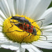 Dimorphic Flower Longhorn Beetle - Photo (c) Kristie Nelson, some rights reserved (CC BY-NC)