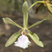 Encyclia xerophytica - Photo (c) Rich Hoyer, some rights reserved (CC BY-NC-SA)