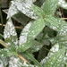 Labiate Powdery Mildew - Photo (c) Andrew Lamb, some rights reserved (CC BY-NC)