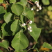 Chinese Tallow - Photo (c) cameralenswrangler, some rights reserved (CC BY-NC)