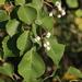 Triadica sebifera - Photo (c) cameralenswrangler, algunos derechos reservados (CC BY-NC)