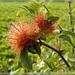 Diplolepis rosae - Photo (c) Colin Cubitt, alguns direitos reservados (CC BY-NC)