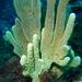 Callyspongia manus - Photo (c) Kai Squires, algunos derechos reservados (CC BY-SA)