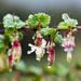 Ribes californicum californicum - Photo (c) Ken-ichi Ueda, some rights reserved (CC BY)