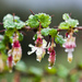 Ribes californicum californicum - Photo (c) Ken-ichi Ueda, some rights reserved (CC BY)