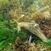 Aplysia punctata - Photo (c) Xavier Rufray, μερικά δικαιώματα διατηρούνται (CC BY-NC)