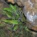 Blechnum australe australe - Photo (c) Jeremy Gilmore, alguns direitos reservados (CC BY)