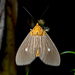 Tropical Tiger Moth - Photo (c) msone, some rights reserved (CC BY-NC-ND)