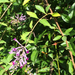 Lindley's Butterflybush - Photo (c) Laura Clark, some rights reserved (CC BY)