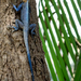 Mucoso Agama - Photo (c) Luis Querido, some rights reserved (CC BY-NC)