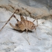 Troglophilus spinulosus - Photo (c) Kaloust Paragamian, μερικά δικαιώματα διατηρούνται (CC BY-NC)