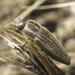 Sphenoptera gemmata - Photo (c) Simon Oliver, alguns direitos reservados (CC BY-NC)
