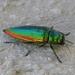 Eurythyrea micans - Photo (c) Simon Oliver, algunos derechos reservados (CC BY-NC)